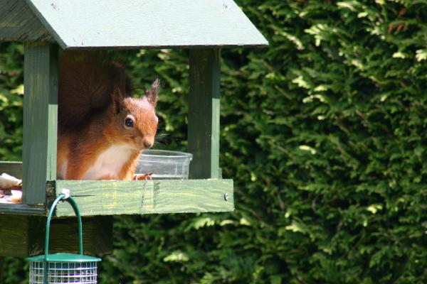 red_squirrels