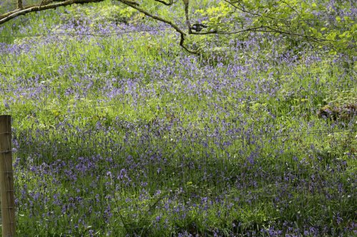 Blue bells in the plantation