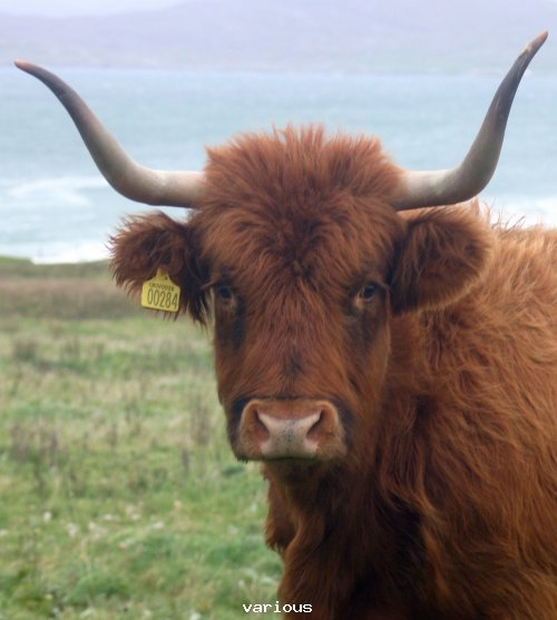 long_horned_cattle